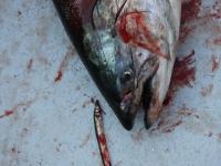 WestCoastFish3386